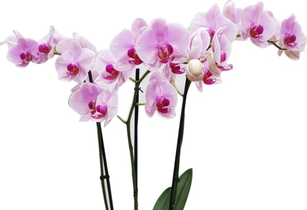 Orquidea de color