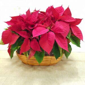 Flor de pascua en cesta de mimbre