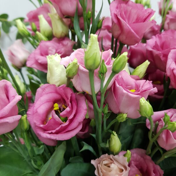 Lisianthus rosa 20 tallos