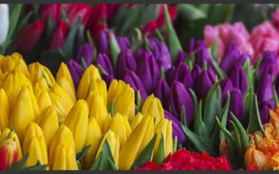 Temporada de Tulipanes